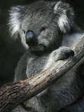 Portrait of a Furry Cute Koala with Huge Ears Sitting in a Tree Fork Photographic Print by Jason Edwards