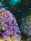 Purple Hydro Coral with Blacksmith Fish and Kelp in the Background Photographic Print by James Forte
