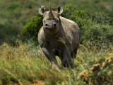 Portrait of an Endangered Black Rhinoceros Photographic Print by Mattias Klum