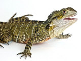 Eastern Water Dragon Sitting in a Studio Looking Up at Camera Photographic Print by Brooke Whatnall