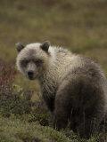 Grizzly Bear Cub (Ursus Arctos) Alaska Photographic Print by Michael S. Quinton