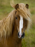 Portrait of an Icelandic Horse with it's Mane Blowing in the Wind Photographic Print by Mattias Klum