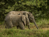 Two African Elephants Looking for Food Photographic Print by Mattias Klum