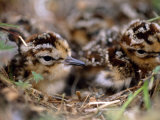 Two Dunlin Sandpiper Chicks, Calidris Alpina, in a Nest Photographic Print by Joel Sartore