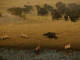 African Lions Hunting a Herd of African Buffalo Photographic Print by Beverly Joubert