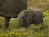 Baby African Elephant Walking Alongside an Adult Photographic Print by Mattias Klum