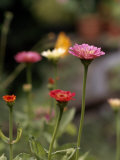 Group of Pink and Red Zinnia Flowers Reproduction photographique par Paul Damien