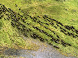 Herd of Buffalo (Syncerus Caffer) Crossing Marshy Grassland Photographic Print by Bobby Haas