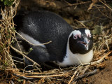 Jackass Penguin Sitting in a Nest Photographic Print by Mattias Klum
