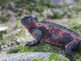 Endangered Marine Iguana, Amblyrhynchus Cristatus, Rocks and Algae Photographic Print by Tim Laman