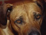 Beseeching Stare of a Rhodesian Ridgeback Dog Photographic Print by Jason Edwards