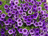 Purple Petunias in Bloom Photographic Print by  Keenpress