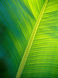 Jason Edwards - Iridescent Green Textured Ribs and Veins of a Backlit Banana Leaf Fotografická reprodukce