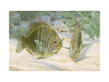 Pair of Black Perch Fish Swim Along the Ocean Floor Photographic Print by Hashime Murayama