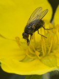 Fly Feeds on Nectar of Cinquefoil Photographic Print by Michael S. Quinton