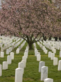 Cherry Tree Blooms in Arlington National Cemetery Photographic Print by Greg Dale