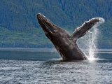 Humpback Whale Exhibiting Breaching Behavior Photographic Print by James Forte