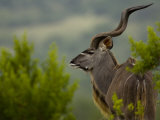 Portrait of a Greater Kudu Photographic Print by Mattias Klum