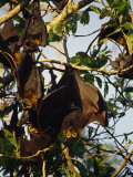 Spectacled Flying Fox Bats Roost in a Rainforest Smashed by a Cyclone Photographic Print by Jason Edwards