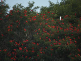 Scarlet Ibises Roosting in Mangrove Trees, a Lone Egret Among Them Photographic Print by Tim Laman