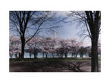 Many Japanese Cherry Trees Bloom Along the Capital's Tidal Basin Photographic Print by Jacob J. Gayer