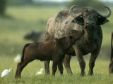 African Buffalo (Syncerus Caffer)With Calf Photographic Print by Beverly Joubert