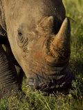 Rhinoceros Grazing on Short Vegetation Photographic Print by Mattias Klum
