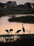 Sandhill Cranes Feed in One of the Neighborhoods of Harmony, Florida Photographic Print by Jim Richardson