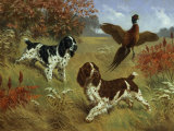 Energetic English Springer Spaniels Flush a Bird from its Cover Photographic Print by Walter Weber