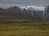 Caribou (Rangifer Tarandus) Denali National Park, Alaska Photographic Print by Michael S. Quinton
