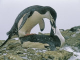 Mating Chinstrap Penguins (Pygoscelis Antarctica) Photographic Print by Gordon Wiltsie