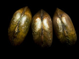 Federally-Endangered Freshwater Mussels Photographic Print by Joel Sartore