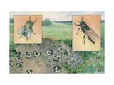 Close-up of Digger Wasp and Centeter Fly, Both Kill Japanese Beetles Photographic Print by Hashime Murayama