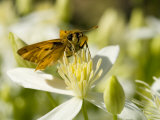 Skipper Butterfly on a Jasmine Bloom Photographic Print by Paul Sutherland