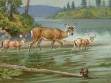 Doe and Her Fawns Walk Cautiously into the Water Photographic Print by Walter Weber