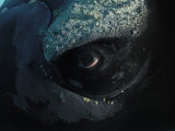 Brian J. Skerry - Right Whale's Eye Covered with Tiny Crustaceans Called Whale Lice - Fotografik Baskı