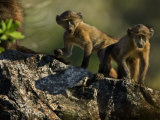 Pair of Young Baboons, Papio Species, on a Rock Photographic Print by Mattias Klum