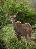 Portrait of a Greater Kudu Photographic Print by Mattias Klum