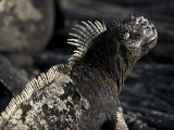 Portrait of a Marine Iguana Photographic Print by Annie Griffiths Belt