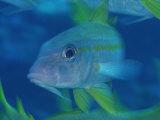 Reef Fish in Kingman Reef Fotografisk tryk af Brian J. Skerry