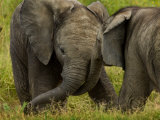 Two Baby African Elephants Playing Photographic Print by Mattias Klum