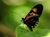 Close Up of a Butterfly on a Leaf Photographic Print by Raul Touzon
