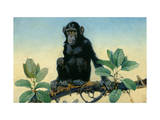 Chimpanzee Inhabits Equatorial Africa Photographic Print by Elie Cheverlange