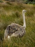 Ostrich, Struthio Camelus, in Tall Grasses Photographic Print by Mattias Klum