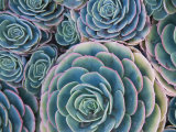 Cluster of Succulents Photographic Print by James Forte