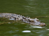 Crocodile Swimming at the Waters Surface Photographic Print by Mattias Klum