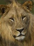 Portrait of a Male African Lion, Panthera Leo Photographic Print by Mattias Klum
