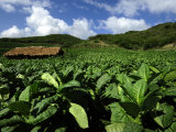 Fields of Tobacco at a Plantation Outside Santo Domingo Photographic Print by Raul Touzon