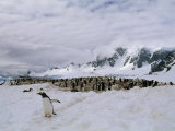 Gentoo Penguins Nest in a Rookery on Cuverville Island Photographic Print by Gordon Wiltsie