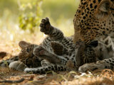 Leopard (Panthera Pardus) Licking a Young Cub Photographic Print by Beverly Joubert